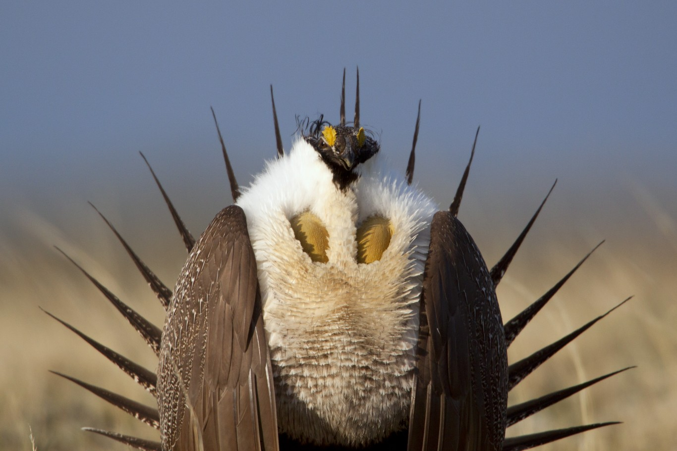 Protecting Wyoming's Greater Sage Grouse