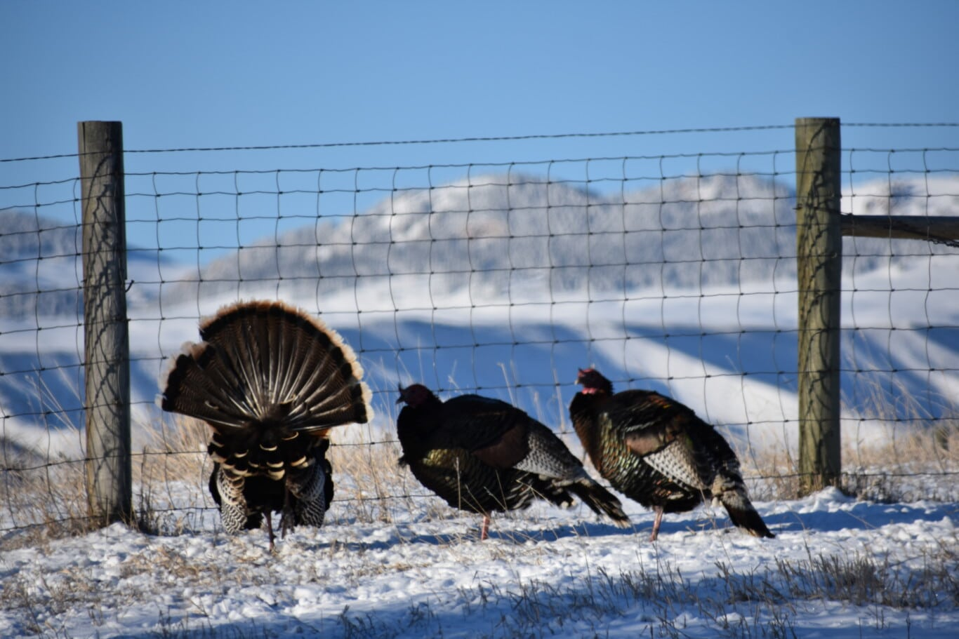 Strutting Turkey in Wyoming