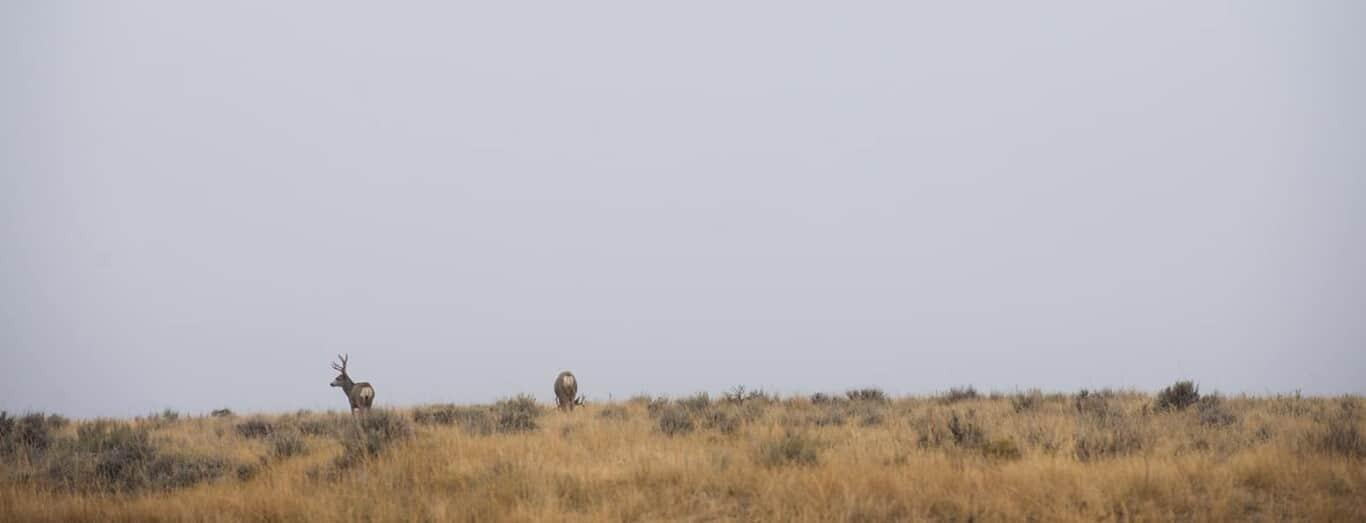 Mule Deer on a Skyline