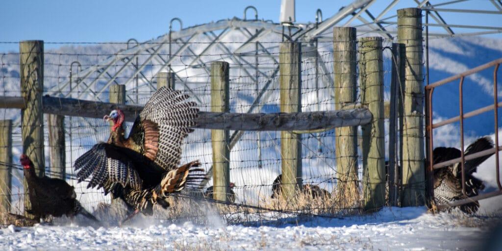 William_Plunkett Turkey Flapping Web