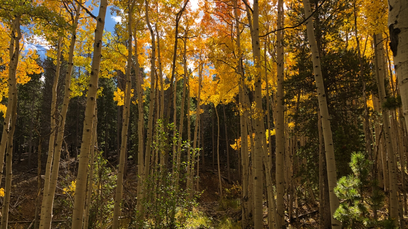 Wyoming Aspens in Mountains
