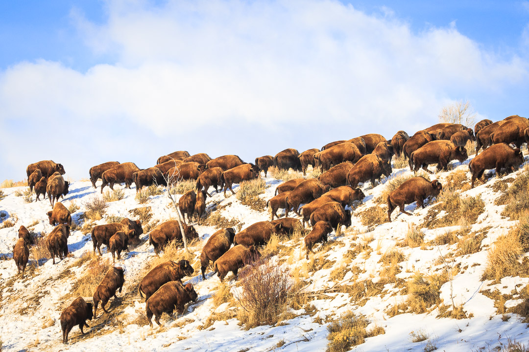 Bison in Yellowstone by Josh Metten Photography
