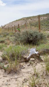 Pronghorn near Fencing Project