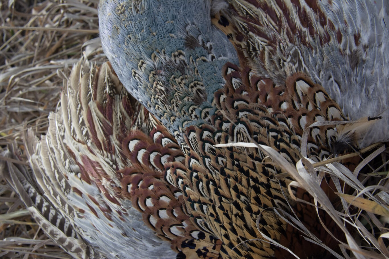 Pheasant Feathers by Jessi Johnson