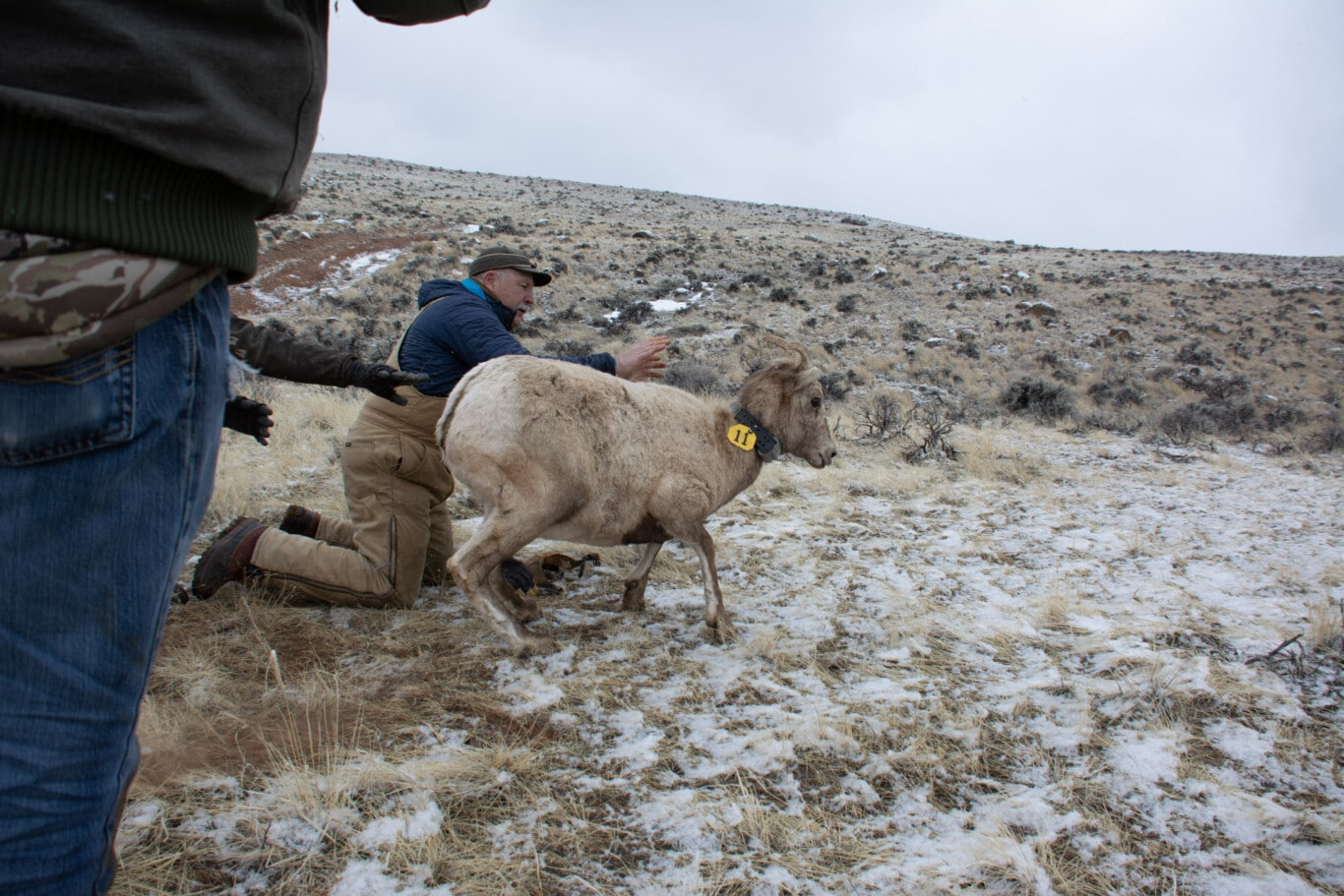 Steve Kilpatrick letting a captured and collared sheep go near Dubios