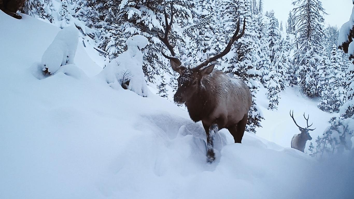 A pair of bull elk forge through snow along their autumn migration route near Dubois, Wyoming.