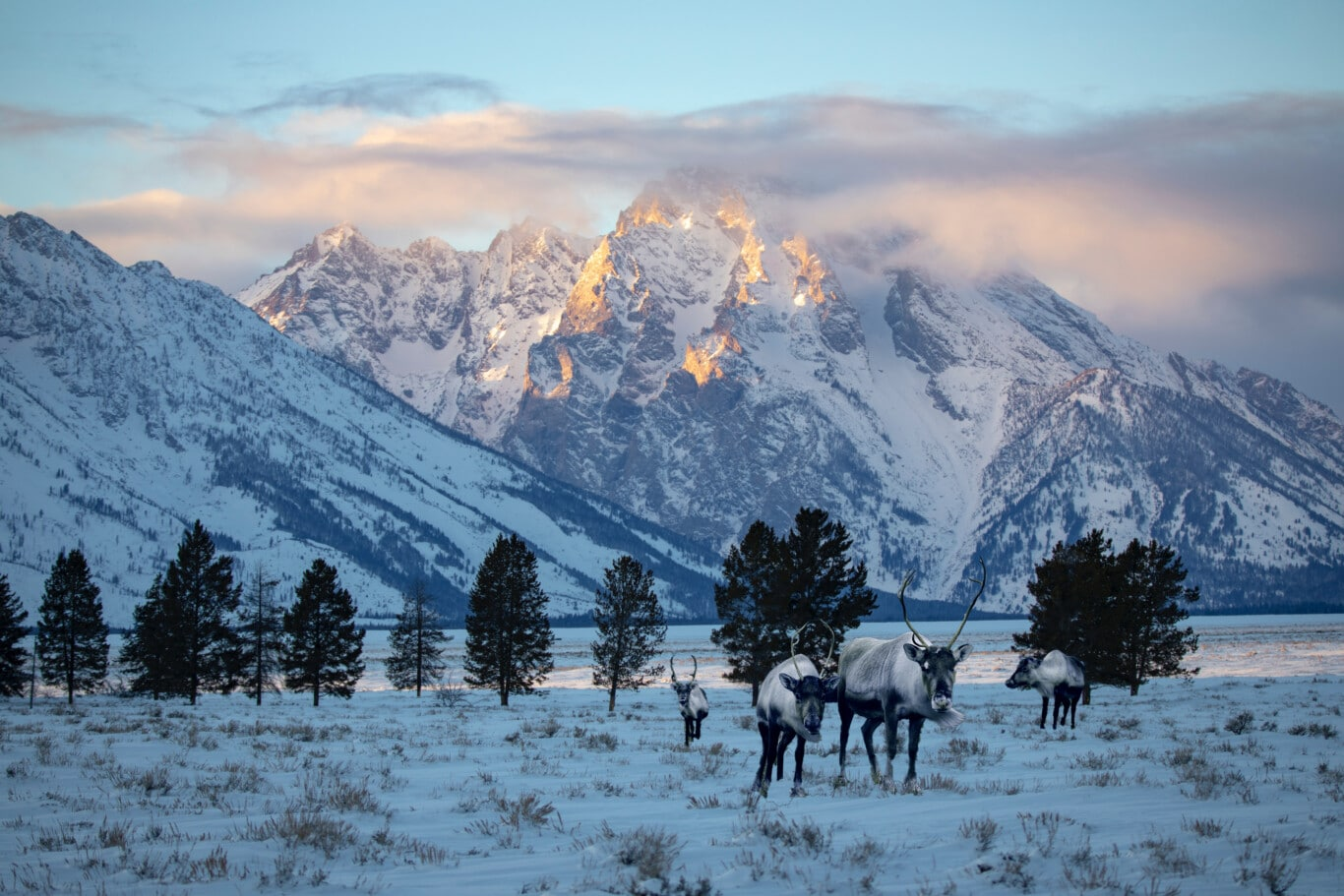 121720_Caribou_in_Grand_Teton