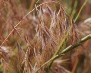 Cheatgrass photo