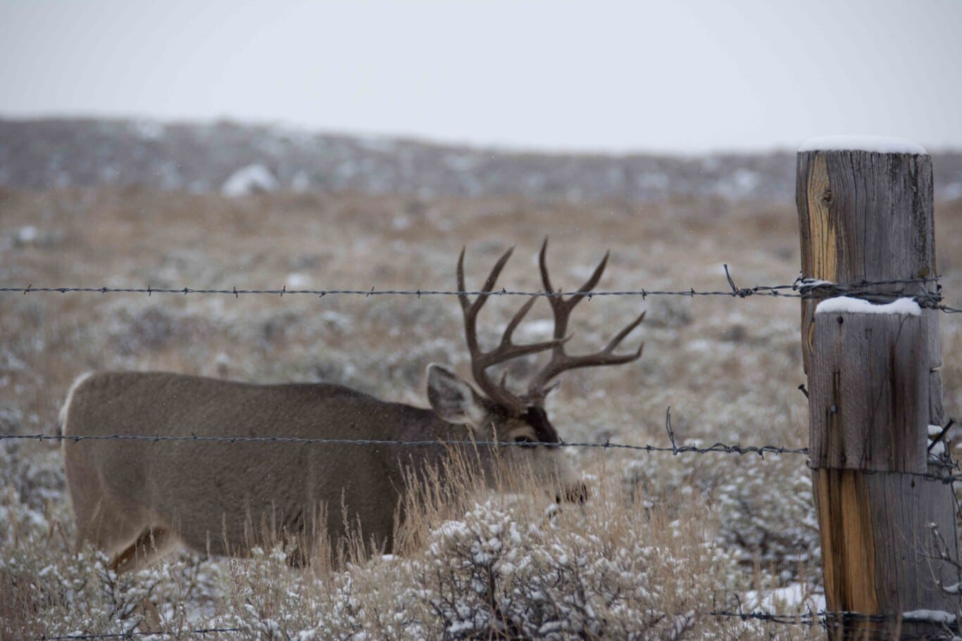 Mule_Deer_Behind_Wire