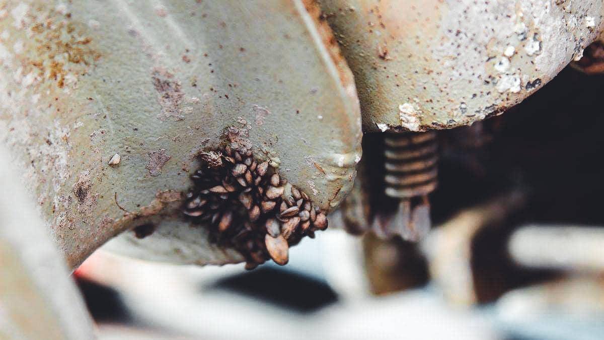 Zebra mussels on prop