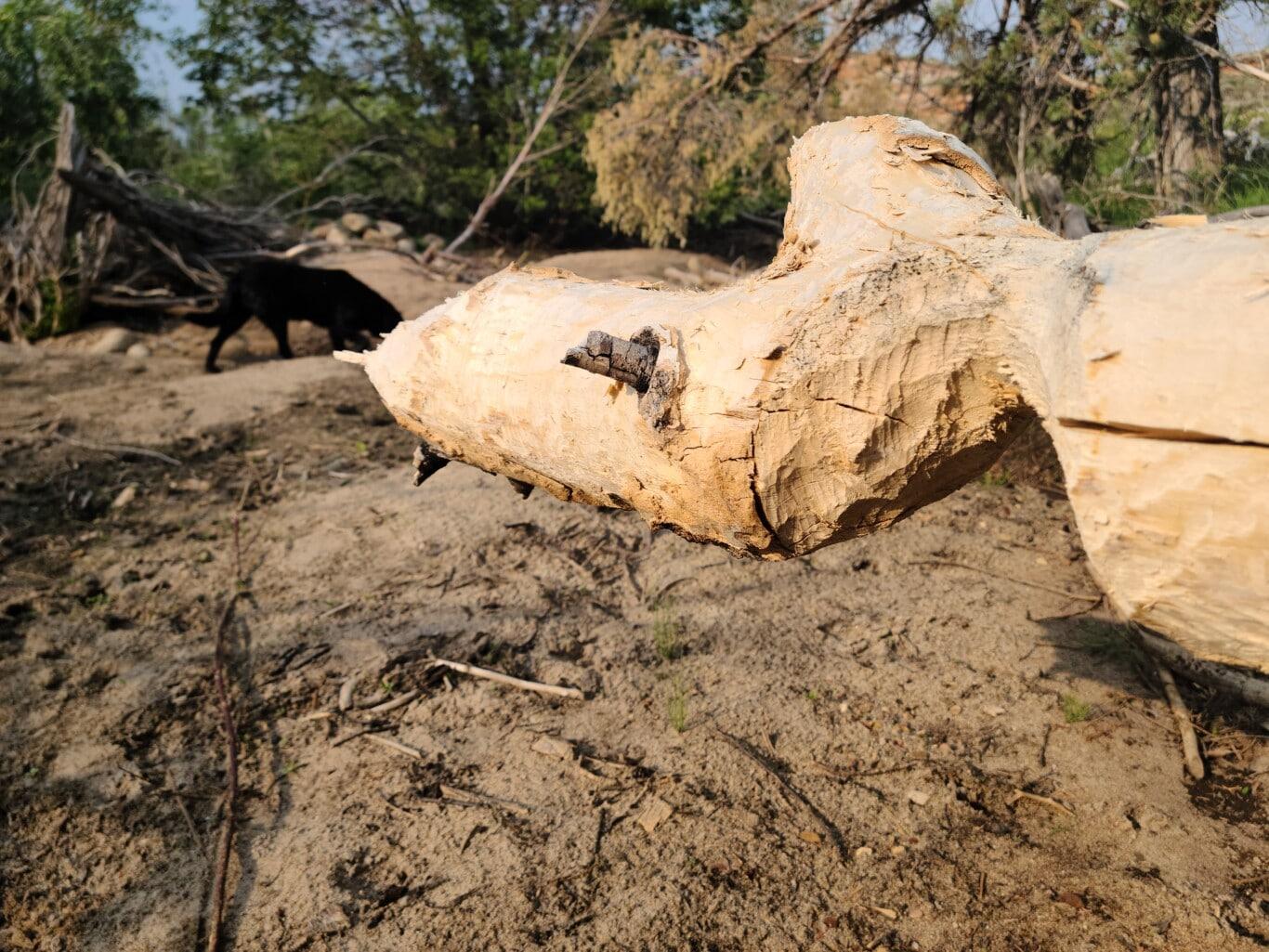 Beaver Chew Log