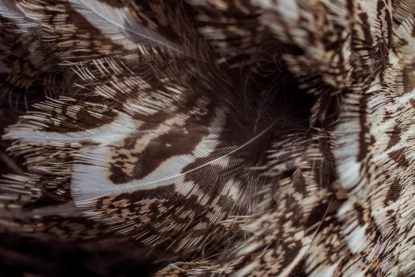 Wyoming Greater Sage-Grouse Feathers