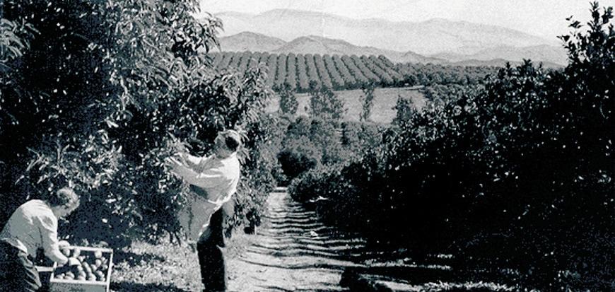 History of the Avocado