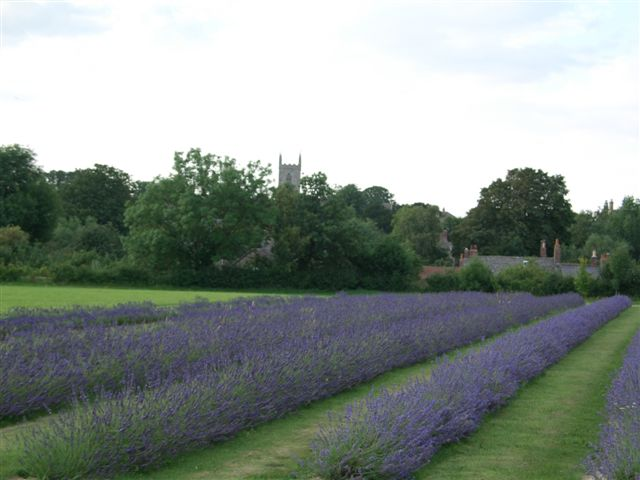 Lavender Field | JacobsFieldLavender.net