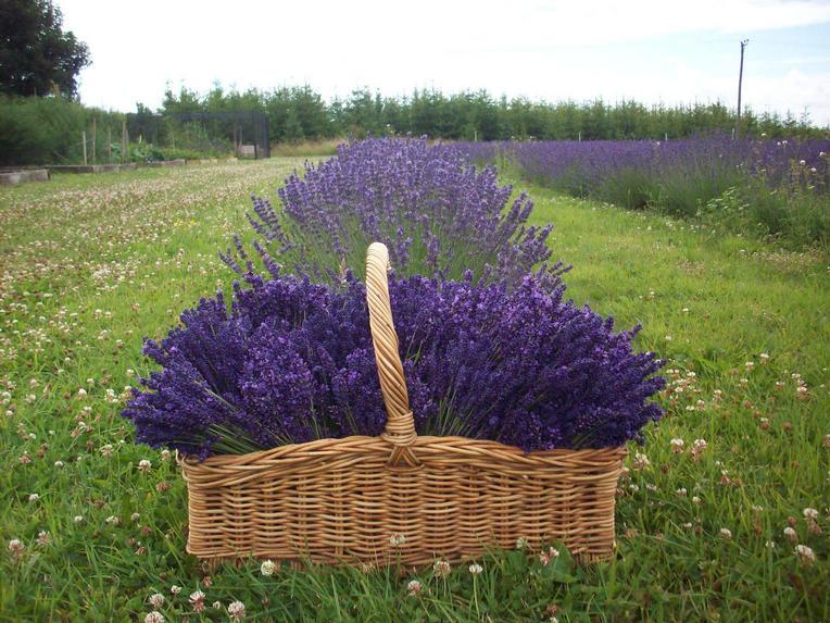 Lavender Basket | JacobsFieldLavender.net