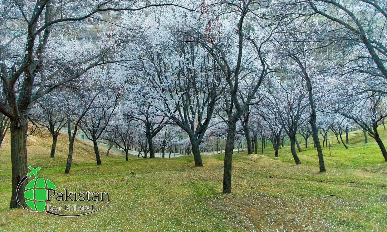 Cherry blossom in Nagar khas 2