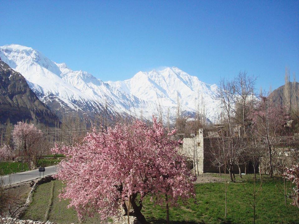 hunza-rakaposhi-nagar-cherry-blossom