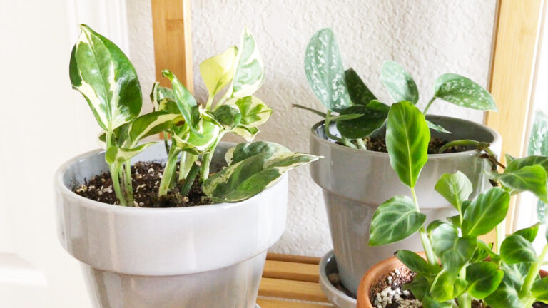 Snow white waffle plant