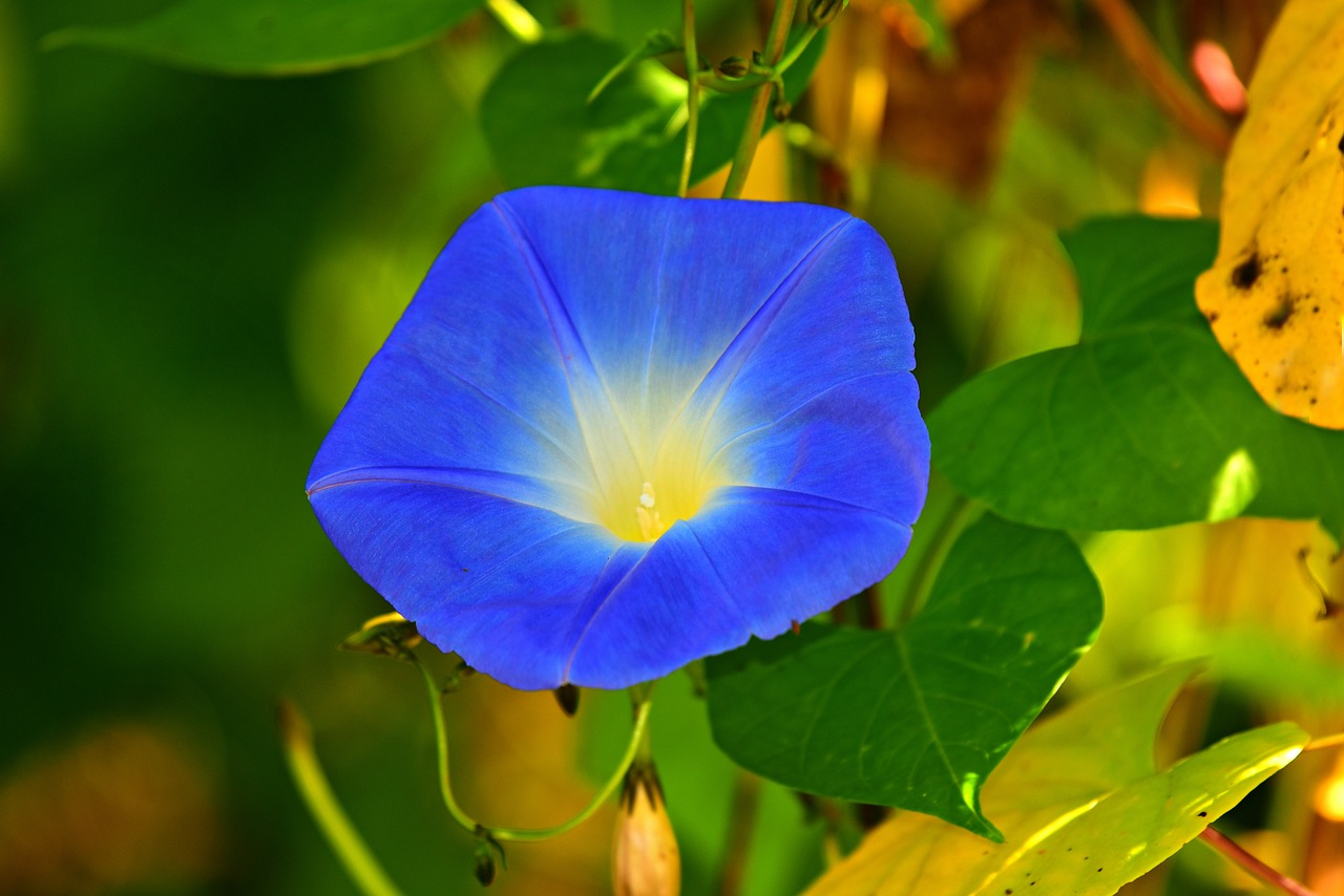 morning-glory-facts-stats