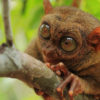 bohol-tarsier