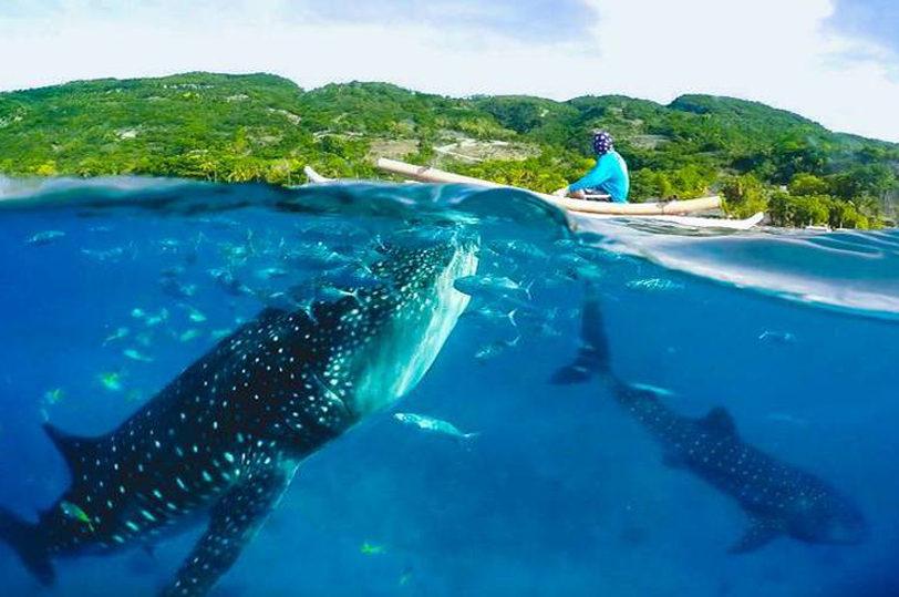 oslob-whaleshark