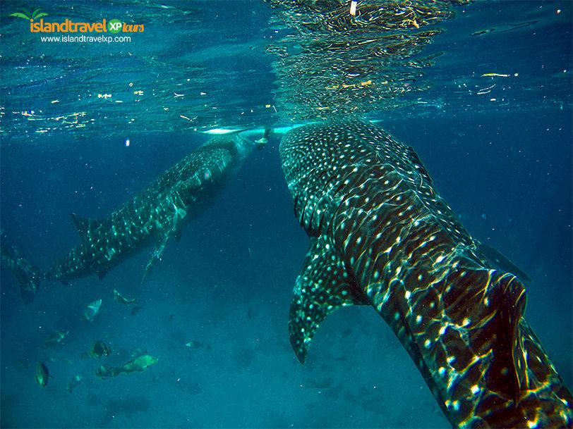 oslob-whaleshark-swimming2