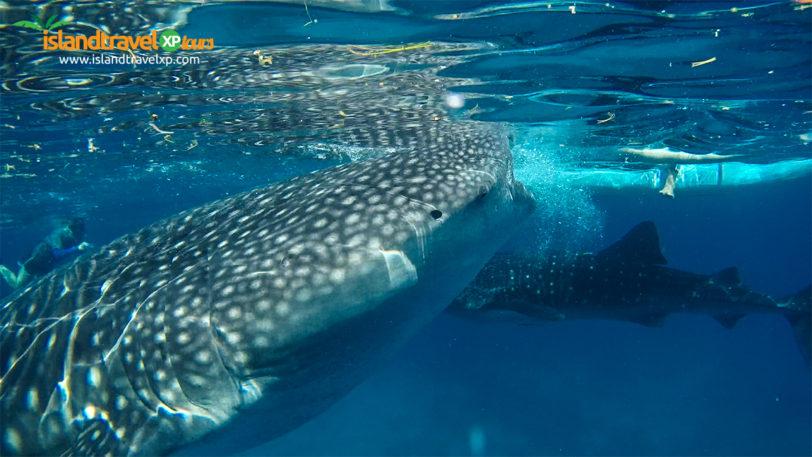 oslob-whaleshark1