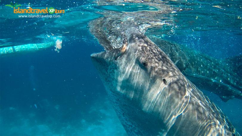 oslob-whaleshark2