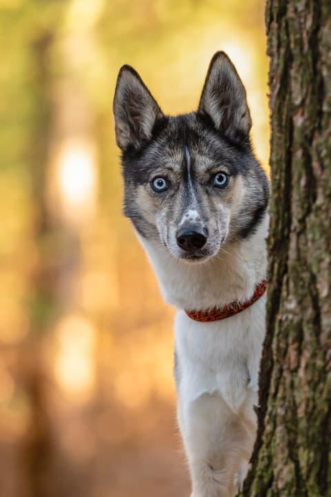 Walworth County, Shadow Dog Photography, Dog Photographer, Pet Photography, Dog Photos, Husky