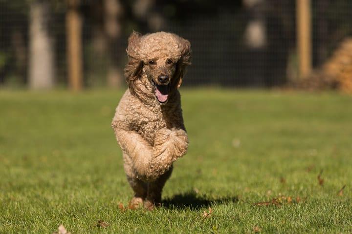 Shadow Dog Photography, Dog Photographer, Pet Photography, Dog Photos, Standard Poodle, Walworth County