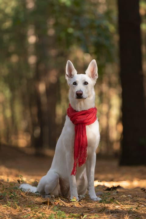 Shadow Dog Photography, Dog Photographer, Pet Photography, Dog Photos, German Shepherd, Walworth County