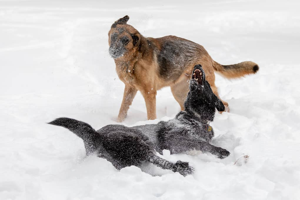German Shepherd Dogs Playing Shadow Dog Photography