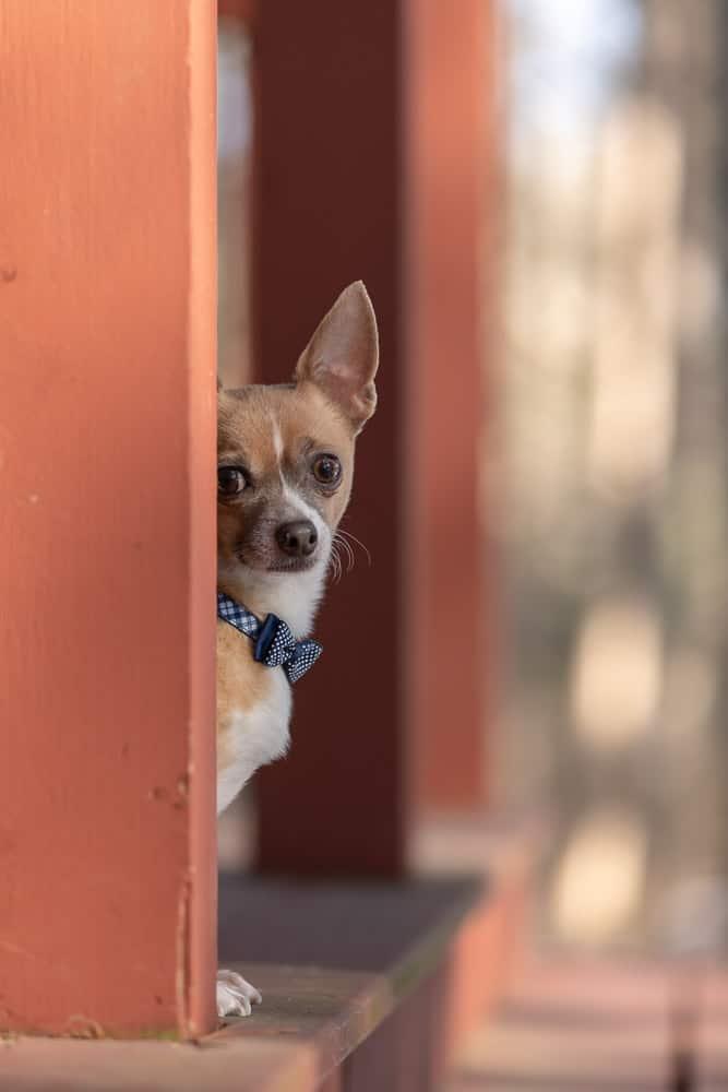 ESA Chihuahua Shadow Dog Photography