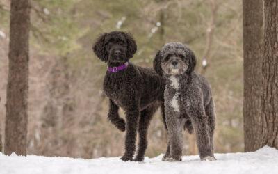 Rescued Dogs Project – Doodles Luna & Pepper