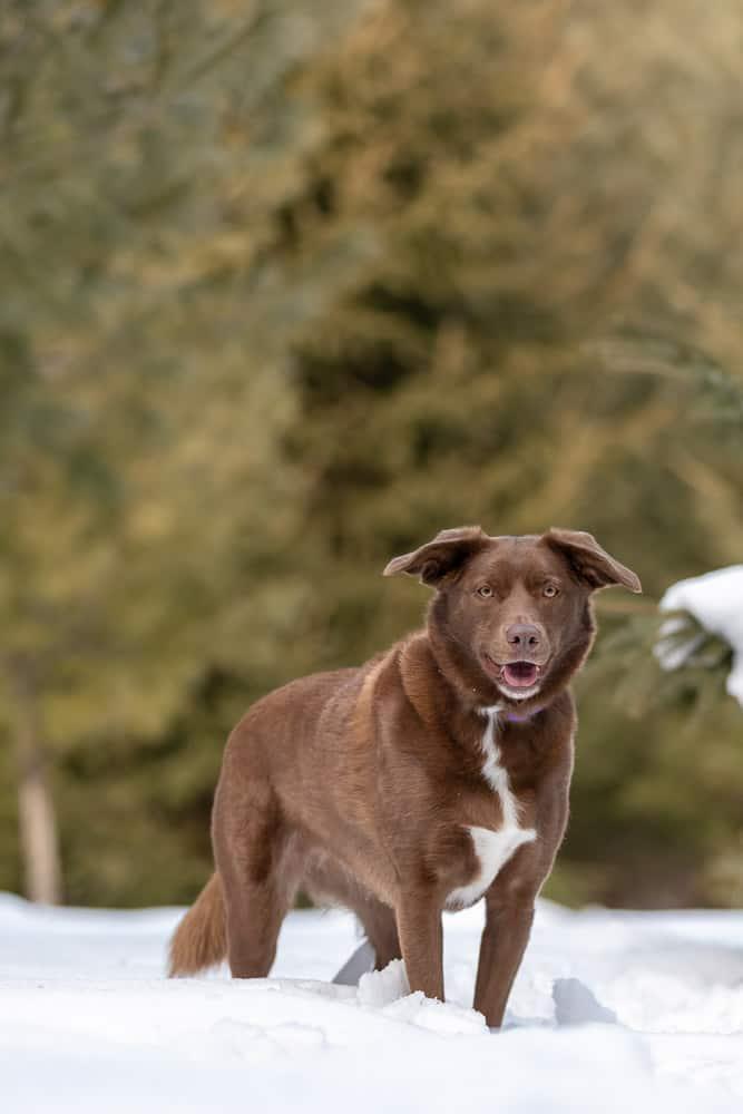 Labrador Australian Shepherd Border Collie Mix Shadow Dog Photography