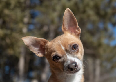 Chihuahua Shadow Dog Photography