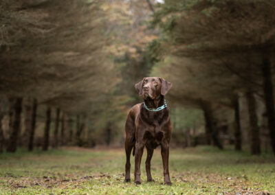 Chocolate Labrador Retriever Shadow Dog Photography