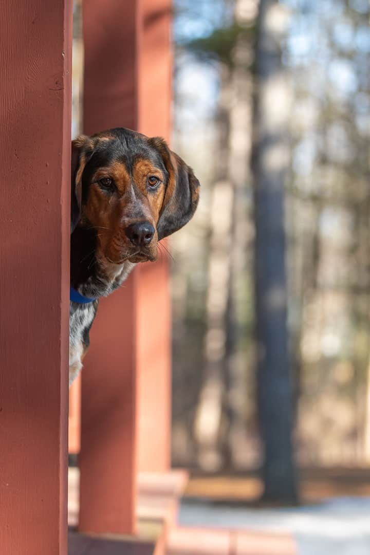 Coonhound Mix Rescue Shadow Dog Photography