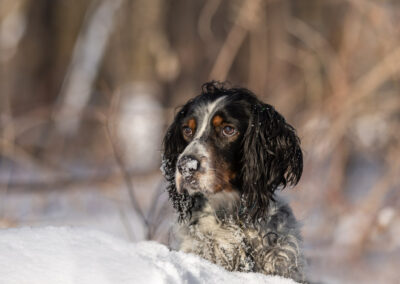 English Setter Shadow Dog Photography