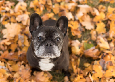 French Bulldog Shadow Dog Photography