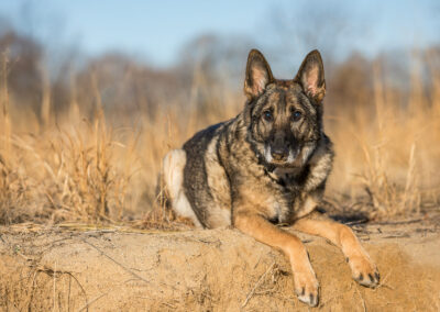 German Shepherd Shadow Dog Photography