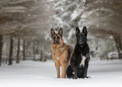 German Shepherds Shadow Dog Photography