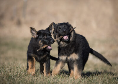 German Shepherd Puppies Shadow Dog Photography