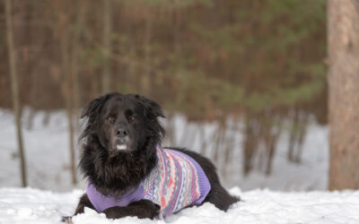 Rescued Dogs Project – Roxie the Newfoundland Mix