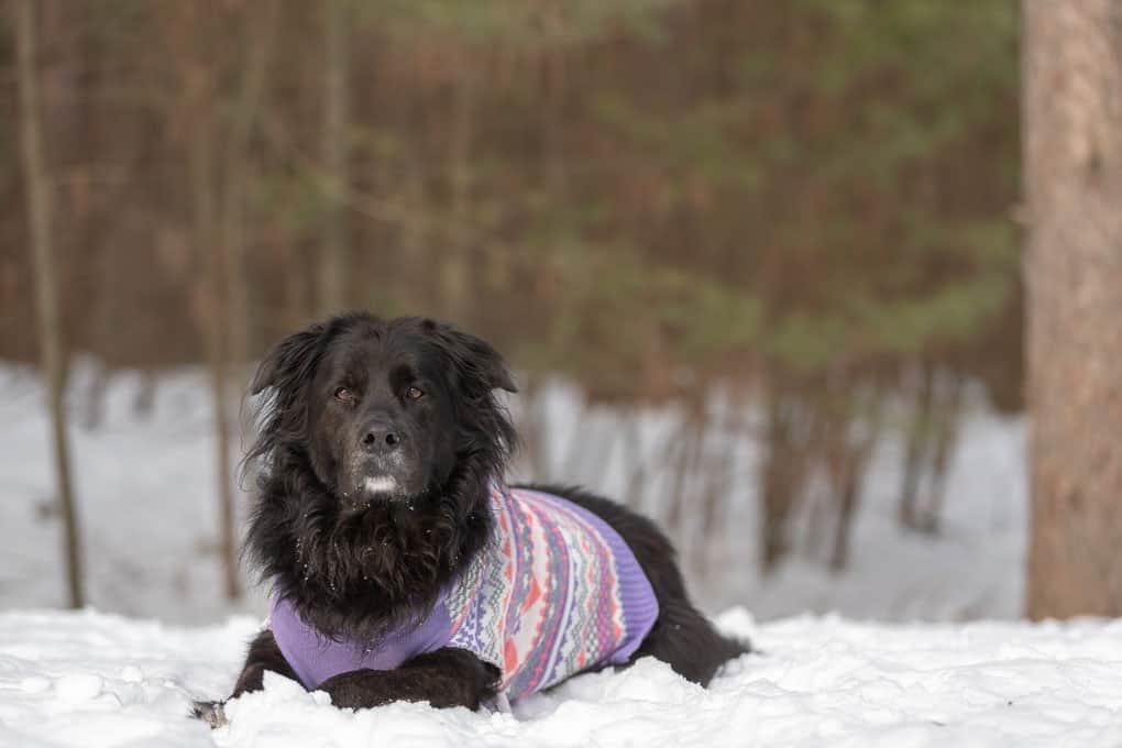 Rescued Newfoundland Mix Shadow Dog Photography