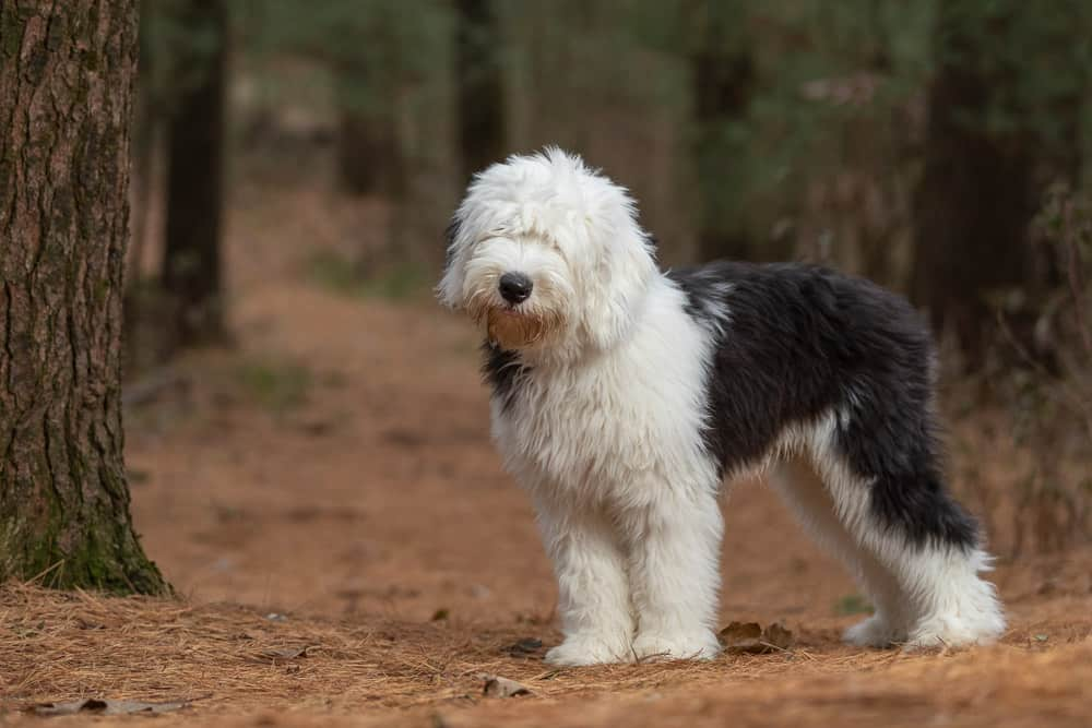 Old English Sheepdog Shadow Dog Photography