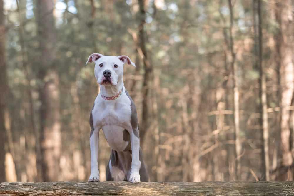 Amstaff Shadow Dog Photography