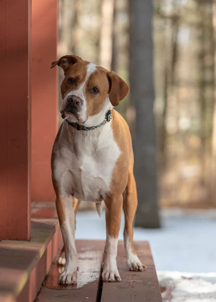 Rescued Pitbull Mix Shadow Dog Photography