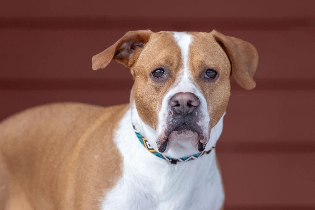 Boxer Pitbull Mix Shadow Dog Photography