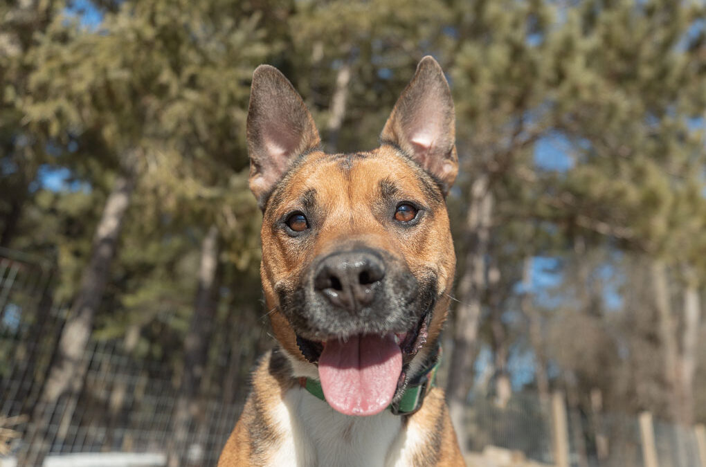 Rescued Dogs Project – Brewer the Shepherd Mix